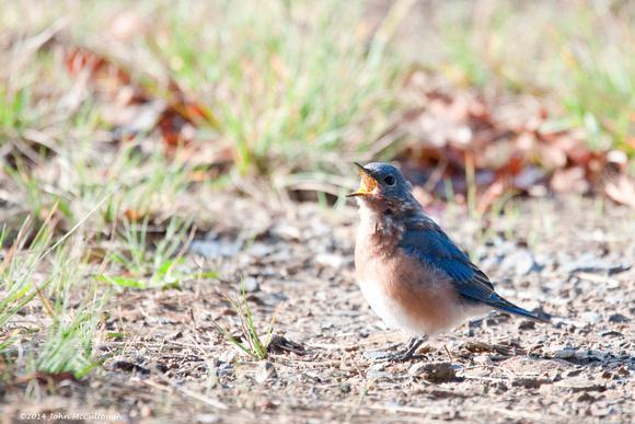 Bluebird Big Mouth